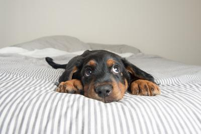 https://imgc.artprintimages.com/img/print/cute-rottweiler-mix-puppy-sleeping-on-striped-white-and-gray-sheets-on-human-bed-looking-at-camera_u-l-q1a2skw0.jpg?p=0