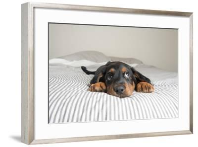 Cute Rottweiler Mix Puppy Sleeping on Striped White and Gray Sheets on Human Bed Looking at Camera-Anna Hoychuk-Framed Photographic Print