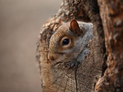 Cute Squirrel Looks out of Her Hole.-l i g h t p o e t-Photographic Print
