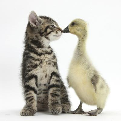 Cute Tabby Kitten, Fosset, 9 Weeks, Nose to Beak with Yellow Gosling-Mark Taylor-Photographic Print