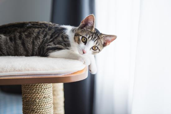 Cute Tabby Kitten Relaxing on Top of Cat Tree-Anna Hoychuk-Photographic Print