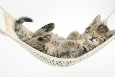 Cute Tabby Kitten, Stanley, 7 Weeks, Sleeping in a Hammock-Mark Taylor-Photographic Print