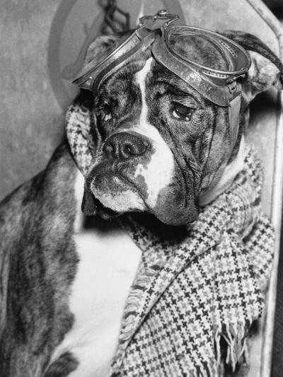 Cute Wrinkled Boxer Dog Dressed-Up in Checked Scarf and Goggles--Photographic Print