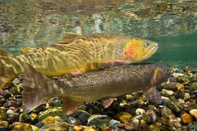 Cutthroat Trout Spawning in the Gros Ventre River-Charlie James-Photographic Print