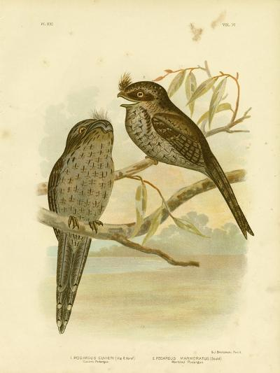 Cuvier's Podargus or Tawny Frogmouth, 1891-Gracius Broinowski-Giclee Print