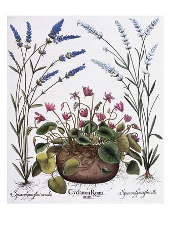 https://imgc.artprintimages.com/img/print/cyclamen-and-lavender-engraving-by-georg-dionysius-ehret-from-the-hortus-eystettensis_u-l-pf5cku0.jpg?p=0