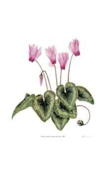 Cyclamen Persicum-Pamela Stagg-Collectable Print