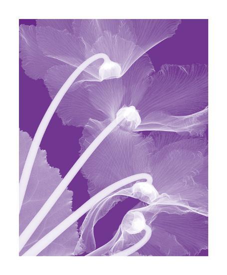 Cyclamen/White-Steven N^ Meyers-Giclee Print