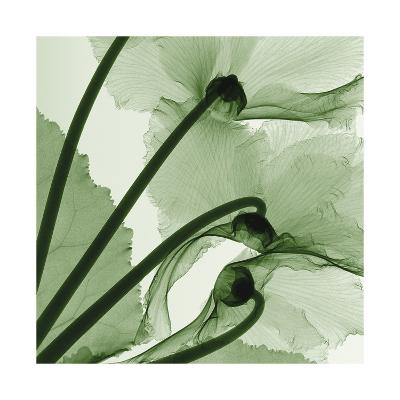 Cyclamen-Steven N^ Meyers-Giclee Print