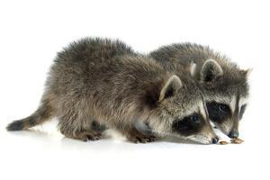 Young Raccoon by cynoclub