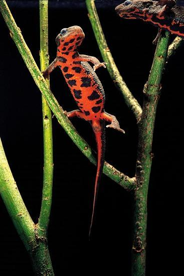 Cynops Pyrrhogaster (Japanese Fire-Bellied Newt)-Paul Starosta-Photographic Print