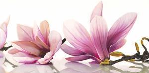 Magnolia by Cynthia Ann