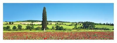 Cypress in poppy field, Tuscany, Italy-Frank Krahmer-Art Print