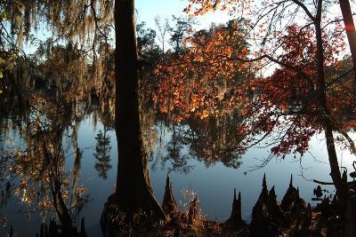 Cypress (Taxodium) Trees and 'Knees' in Autumn, Sam Houston Jones State Park, Louisiana-Natalie Tepper-Photographic Print