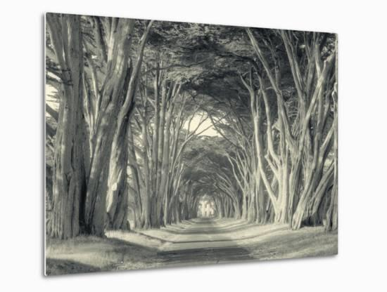 Cypress Tree Road, Point Reyes-Vincent James-Metal Print