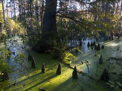 Cypress Tree Trunks Break the Water's Surface in Cypress Gardens-Michael Melford-Photographic Print