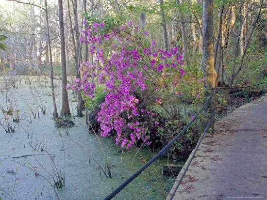 Cypress Trees and Azaleas at Magnolia Plantation, Charleston, South Carolina, USA-Julie Eggers-Photographic Print