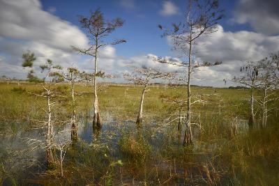 Cypress Trees in Everglades National Park Near Florida City-Raul Touzon-Photographic Print