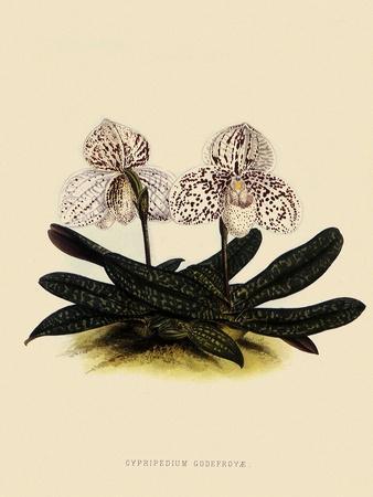 https://imgc.artprintimages.com/img/print/cypripedium-godefroyae_u-l-q1bvmua0.jpg?p=0