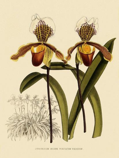 Cypripedium Insigne Punctatum Violaceum-John Nugent Fitch-Giclee Print