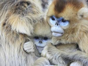 A Snub-Nosed Monkey Family Huddles for Warmth in Freezing Temperatures by Cyril Ruoso