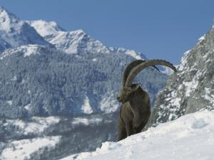 Alpine Ibex (Capra Ibex) Adult Male Standing in Snowy Mountains, Alps, France by Cyril Ruoso