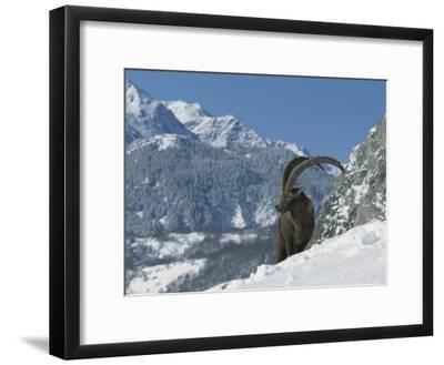 Alpine Ibex (Capra Ibex) Adult Male Standing in Snowy Mountains, Alps, France