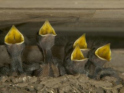 Barn Swallow (Hirundo Rustica) Chicks in Mud Nest Begging for Food, Picardie, France