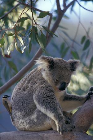 Black-Chinned Honeyeater (Melithreptus Gularis) Collecting Koala Hair For Nest