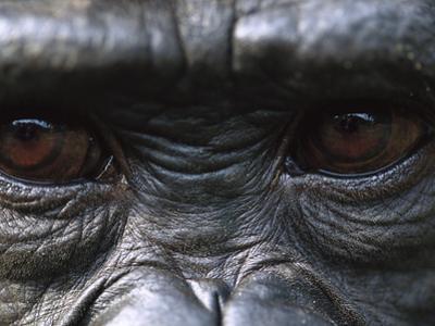 Bonobo Chimpanzees (Pan Paniscus) Close-Up of Eyes, Democratic Republic of the Congo