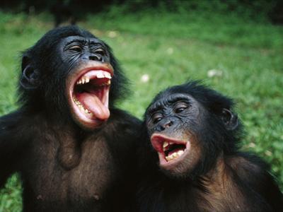 Bonobo or Pygmy Chimpanzee (Pan Paniscus) Juvenile Pair Making Funny Faces