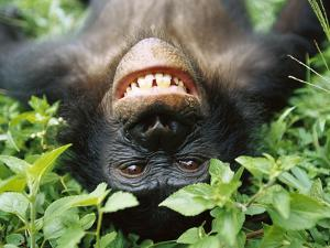 Bonobo or Pygmy Chimpanzee (Pan Paniscus) Smiling While Laying on Ground by Cyril Ruoso