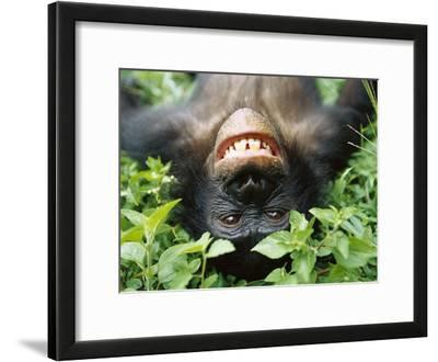Bonobo or Pygmy Chimpanzee (Pan Paniscus) Smiling While Laying on Ground