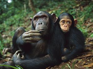 Chimpanzee (Pan Troglodytes) Adult Female with Orphan Baby She Has Adopted, Gabon by Cyril Ruoso