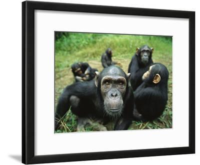 Chimpanzee (Pan Troglodytes) Female Looking into the Camera Curiously