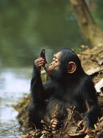 Chimpanzee (Pan Troglodytes) Young Using a Leaf to Drink, Gabon