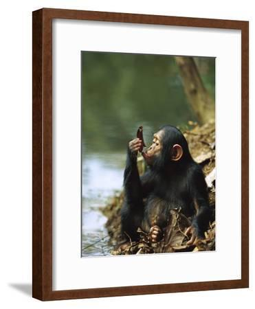 Chimpanzee (Pan Troglodytes) Young Using a Leaf to Drink, Gabon