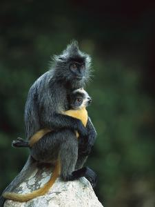 Crested Langur (Semnopithecus Cristatus) Female and Her Baby on a Rock by Cyril Ruoso