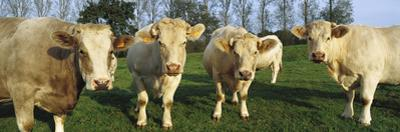 Domestic Cattle (Bos Taurus) Charolais Herd in Pasture, Picardie, France
