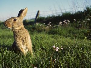 European Rabbit (Oryctolagus Cuniculus) in a Meadow, France by Cyril Ruoso