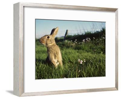 European Rabbit (Oryctolagus Cuniculus) in a Meadow, France