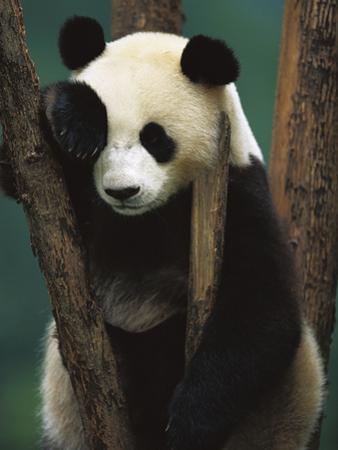 Giant Panda (Ailuropoda Melanoleuca) Endangered, of a Young Panda in a Tree