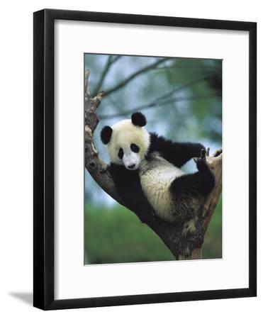 Giant Panda (Ailuropoda Melanoleuca) Endangered, One Year Old Cub in a Tree