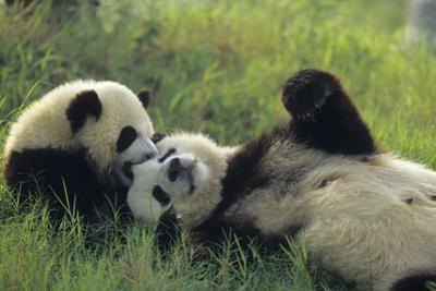 Giant Panda (Ailuropoda Melanoleuca) Mother And Young Playing, Captive, Sichuan, China. Non-Ex