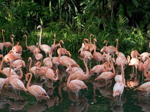Greater Flamingo (Phoenicopterus Ruber) Flock Wading in Shallow Water by Cyril Ruoso