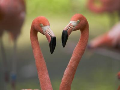 Greater Flamingo (Phoenicopterus Ruber) Pair