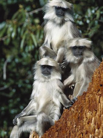 Grey or Common Langur (Semnopithecus Entellus) Trio in the Himalayan Mountains