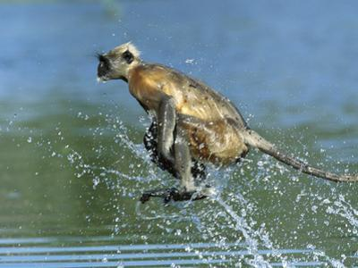 Hanuman or Grey or Common Langur (Semnopithecus Entellus) Crossing a River, India