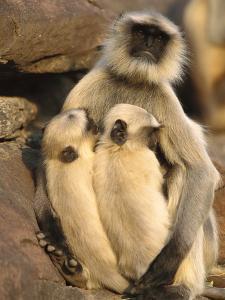 Hanuman or Grey or Common Langur (Semnopithecus Entellus) Mother Nursing Twins by Cyril Ruoso