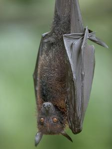 Large Flying Fox (Pteropus Vampyrus) by Cyril Ruoso